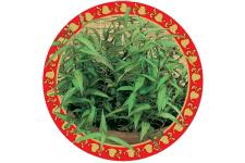 Vietnamese Mint_web